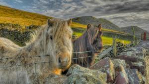 Aberaeron Welsh ponies