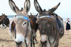 Two of Weston's famous donkeys
