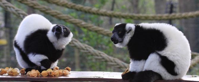 The Lemurs at Howletts Wild Animal Park near Canterbury