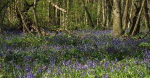 Enchanted Bluebell Wood at Druidstone Park