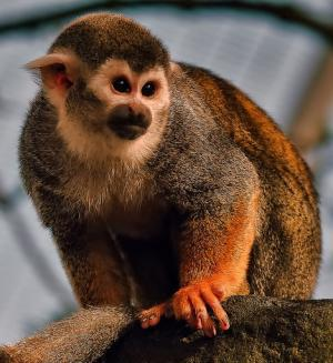 Squirrel Monkey at Blackpool Zoo