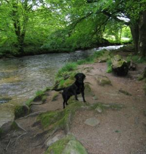 Walking with dogs in Golitha Falls wooded valley cut through by the River Fowey