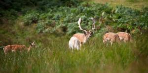 Fallow Deer at Bolderwood Deer Sanctuary