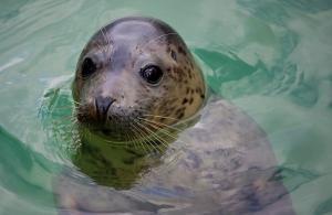 Cornish Seal Sanctuary at Gweek near Helston