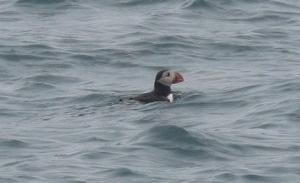 Swimming Puffin off Annet