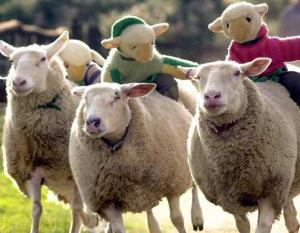 Sheep racing, not to be missed at The Big Sheep attraction in North Devon