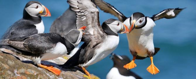 Puffins coming in to land, Credit Lynne Newton