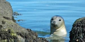 The inquisitive grey seal – Credit Freddie Jackson