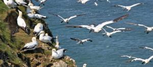 Gannets soaring at Bempton Cliffs – Credit Martin Batt