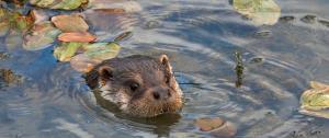 An Otter enjoys an early morning swim. Credit Elliot Smith