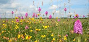 Orchids and Bird's Foot Trefoil in chalk grassland along The Hudson Way. Credit ERYC