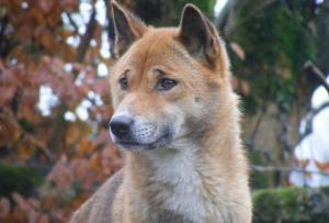 New Guinea singing dog at Exmoor Zoo