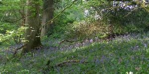 Bluebells along woodland walks at Halsdon Nature Reserve near Great Torrington