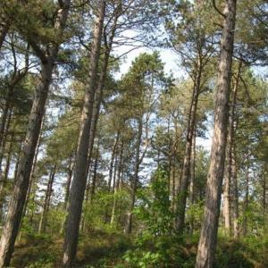 Formby's beautiful coastal pine woodlands