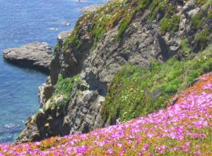The rare and colourful flora of The Lizard coastline