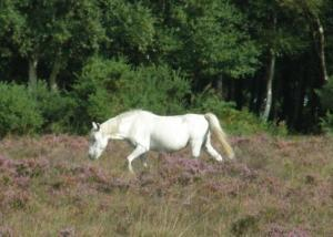 New Forest Ponies, Hampshire