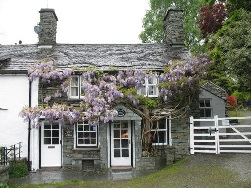 The wistaria brightening a dull day!   - Wistaria Cottage